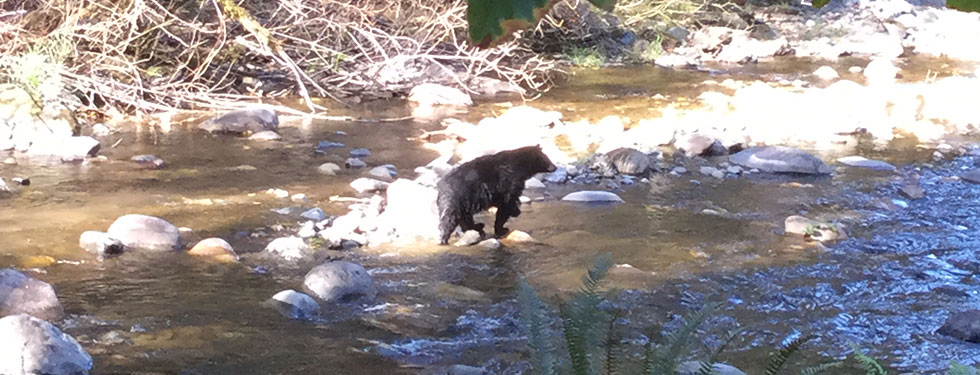 Bear in the Raging River near the Quarry property